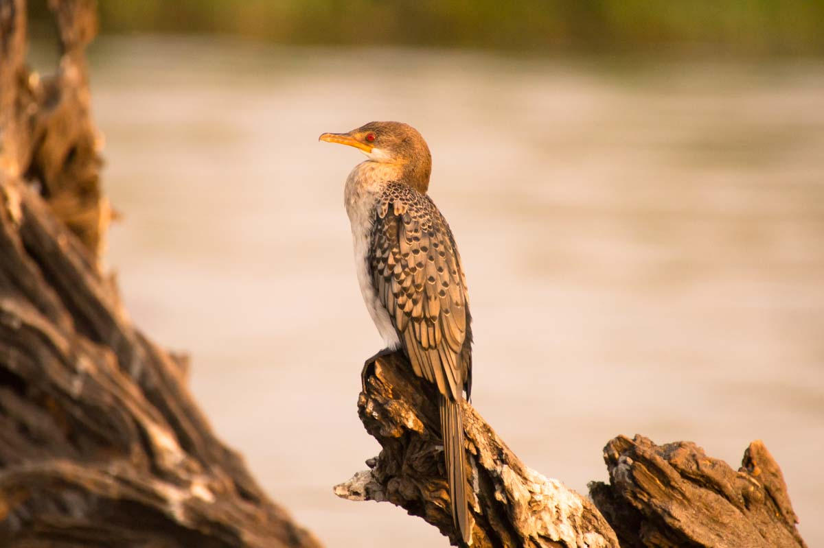 Riedscharbe (Reed Cormorant)
