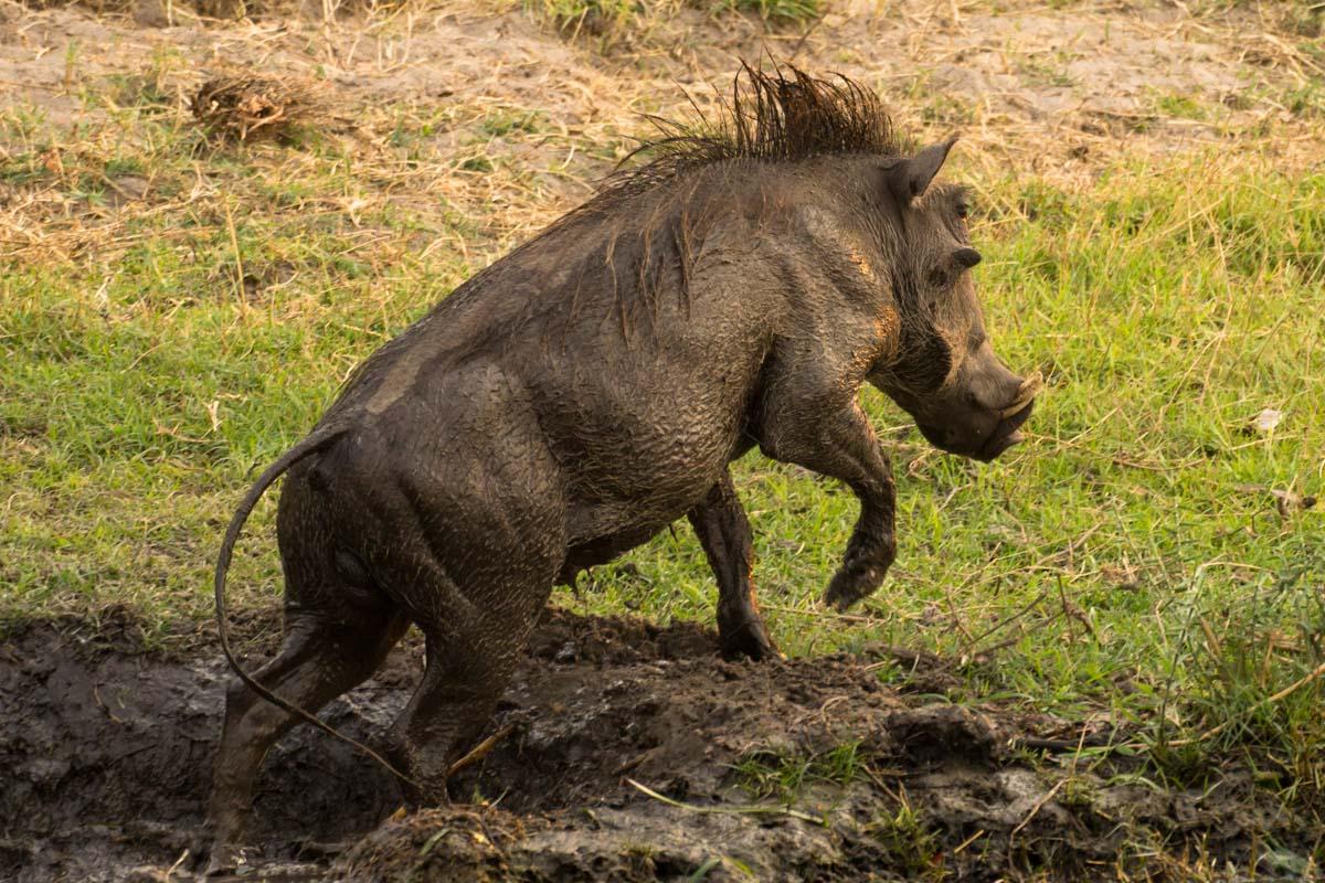Warzenschwein im Chobe NP