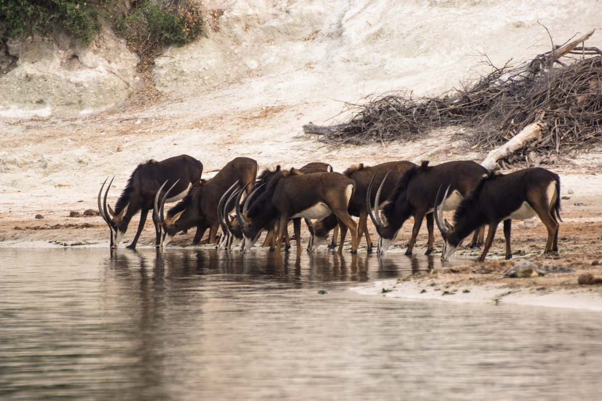 Rappenantilope (Sable Antelope) im Chobe NP