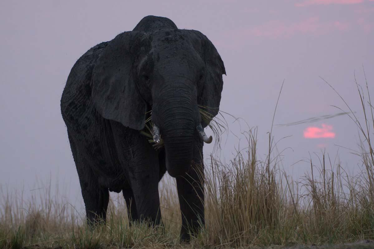 Elefant beim Sonnenuntergang in Botswana