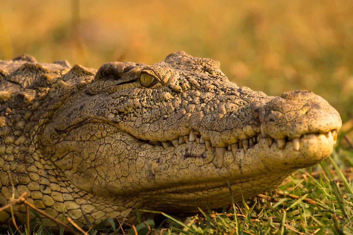 Krokodil im Chobe NP in Botswana
