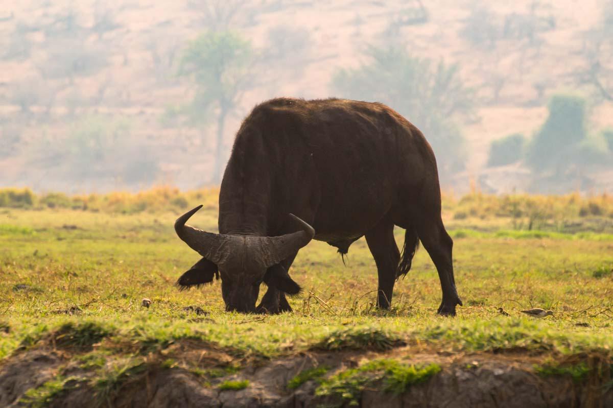 Afrikanischer Büffel im Chobe NP