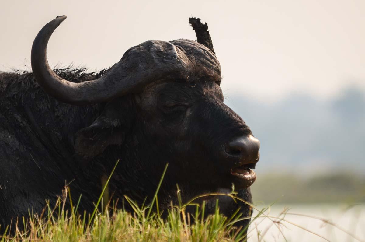 Afrikanischer Büffel (African Buffalo) im Chobe