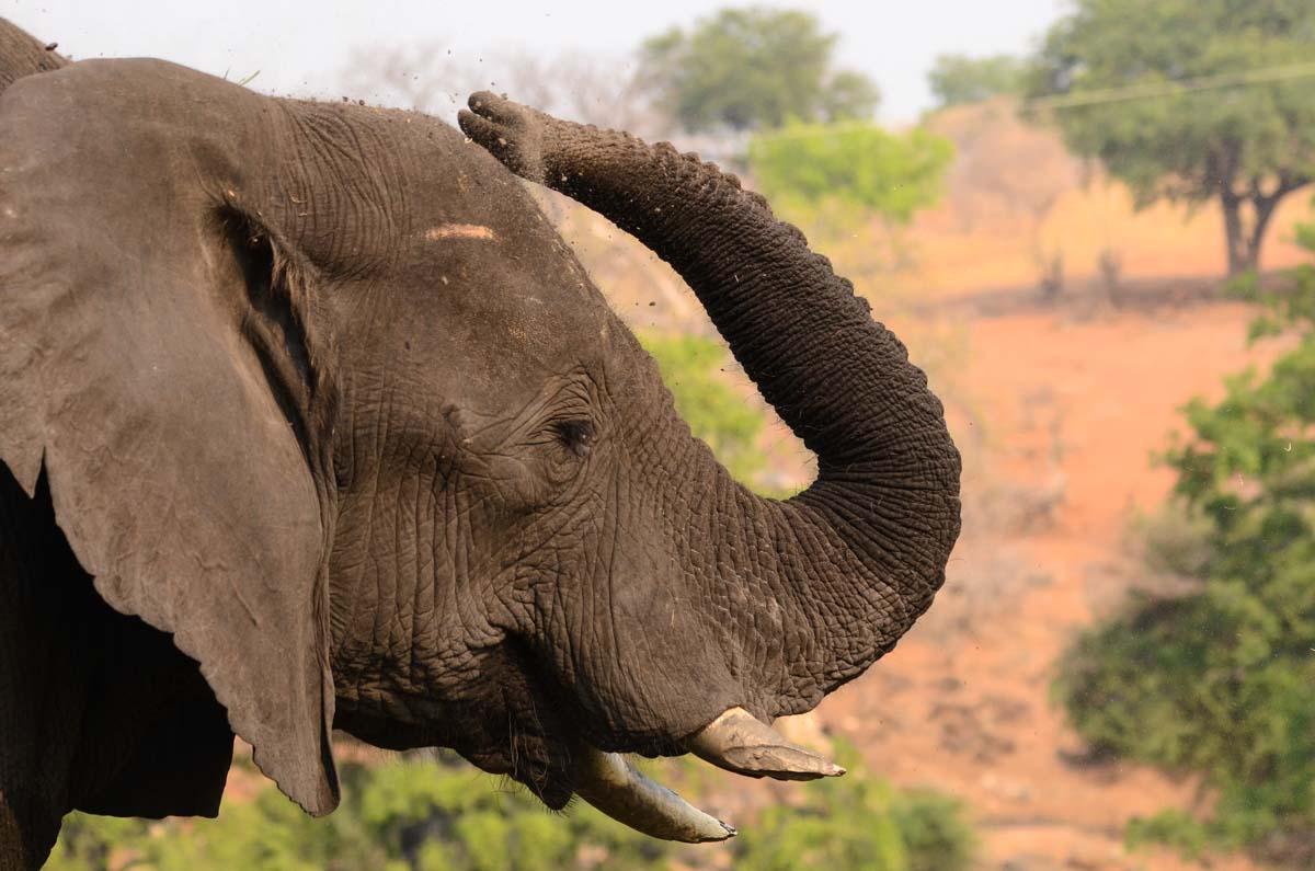 Elefant bewirft sich mit Erde im Chobe