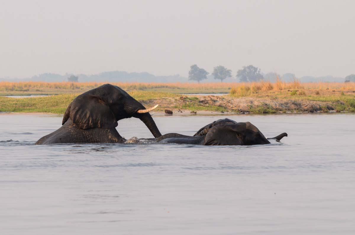 Schwimmende Elefanten im Chobe Fluss
