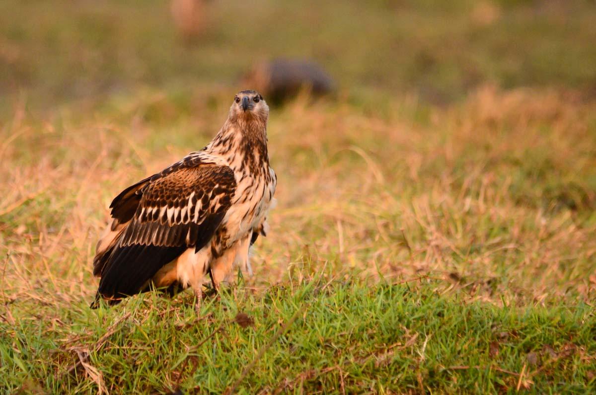 Wahlbergsadler (Wahlberg´s Eagle)
