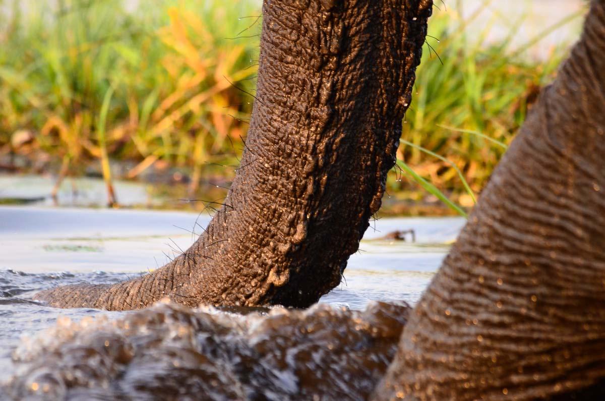 Elefantenrüssel beim Trinken