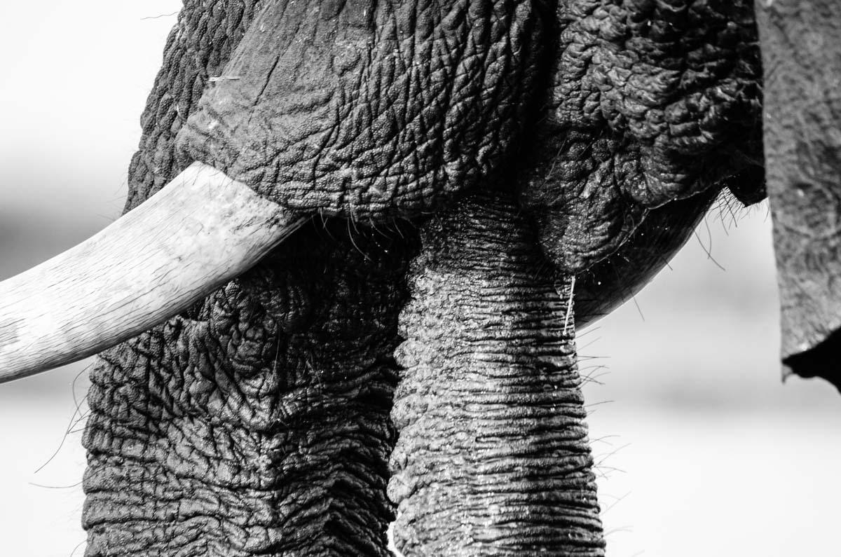 Elefant beim Trinken