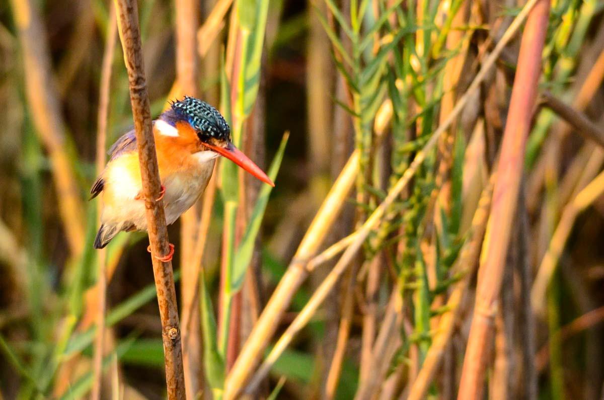 Haubenzwergfischer (Malachite Kingfisher)
