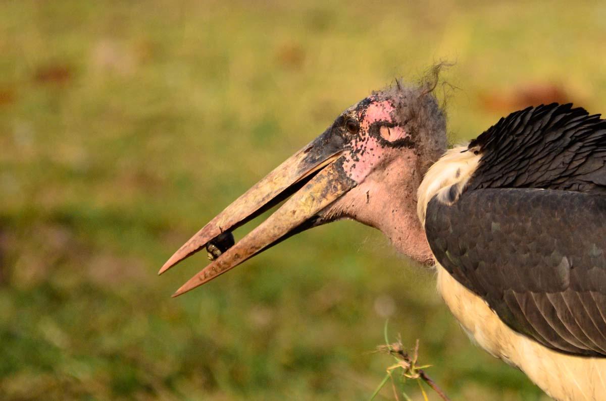 Marabu Storch im Chobe NP in Botswana
