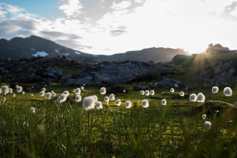 Baumwolle am Munken, Norwegen