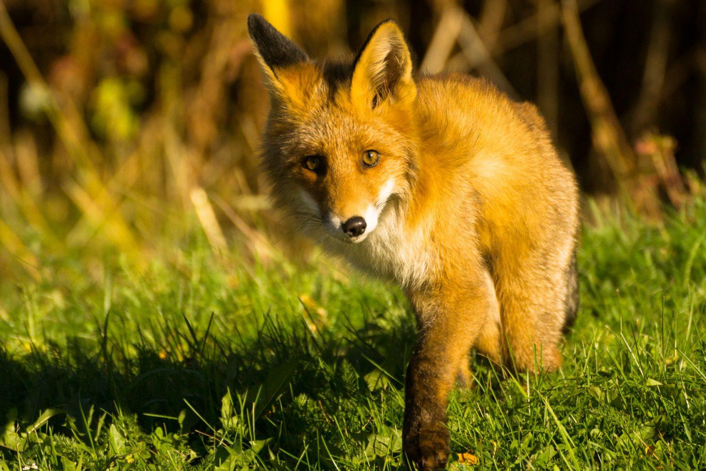 Fuchs in den Lyngen Alpen von Norwegen