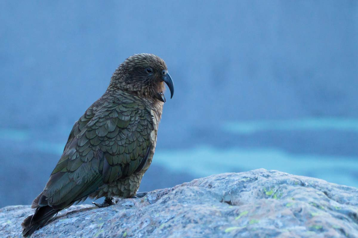 Kea auf dem Mount Sealy, Neuseeland