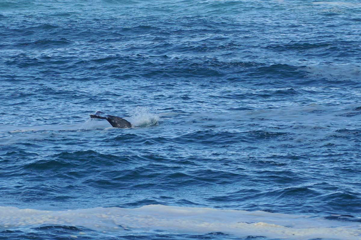 Grauwal vor Depoe Bay (Oregon Coast)