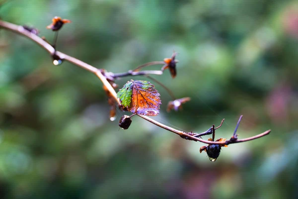 Regentropfen an Blättern im Hoh Rain Regenwald
