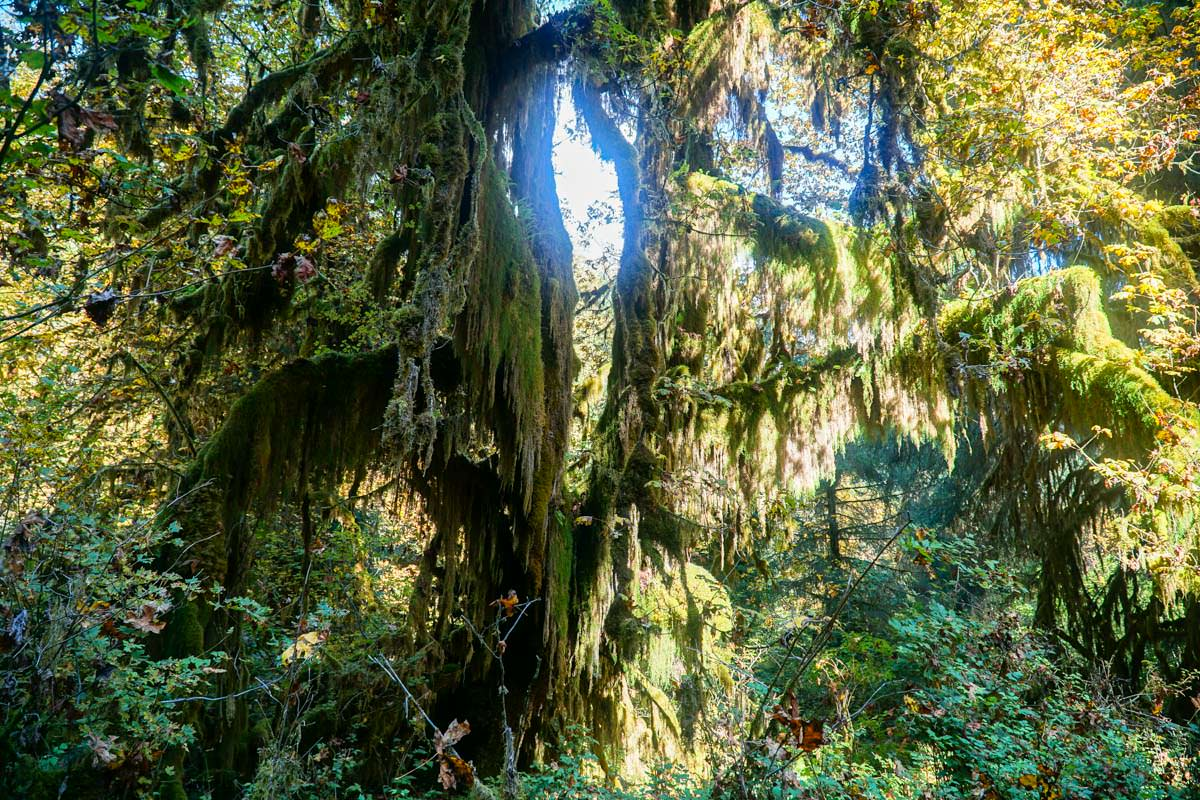 Hall-of-Mosses Walk im Olympic Nationalpark