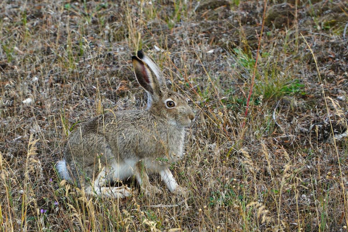 Hase (Yellowstone)
