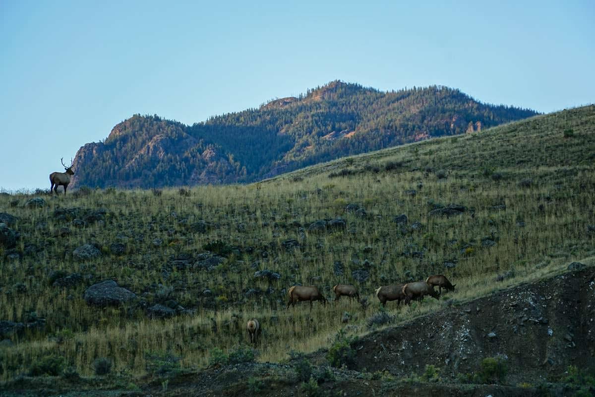 Wapiti Herde in Gardiner (USA)
