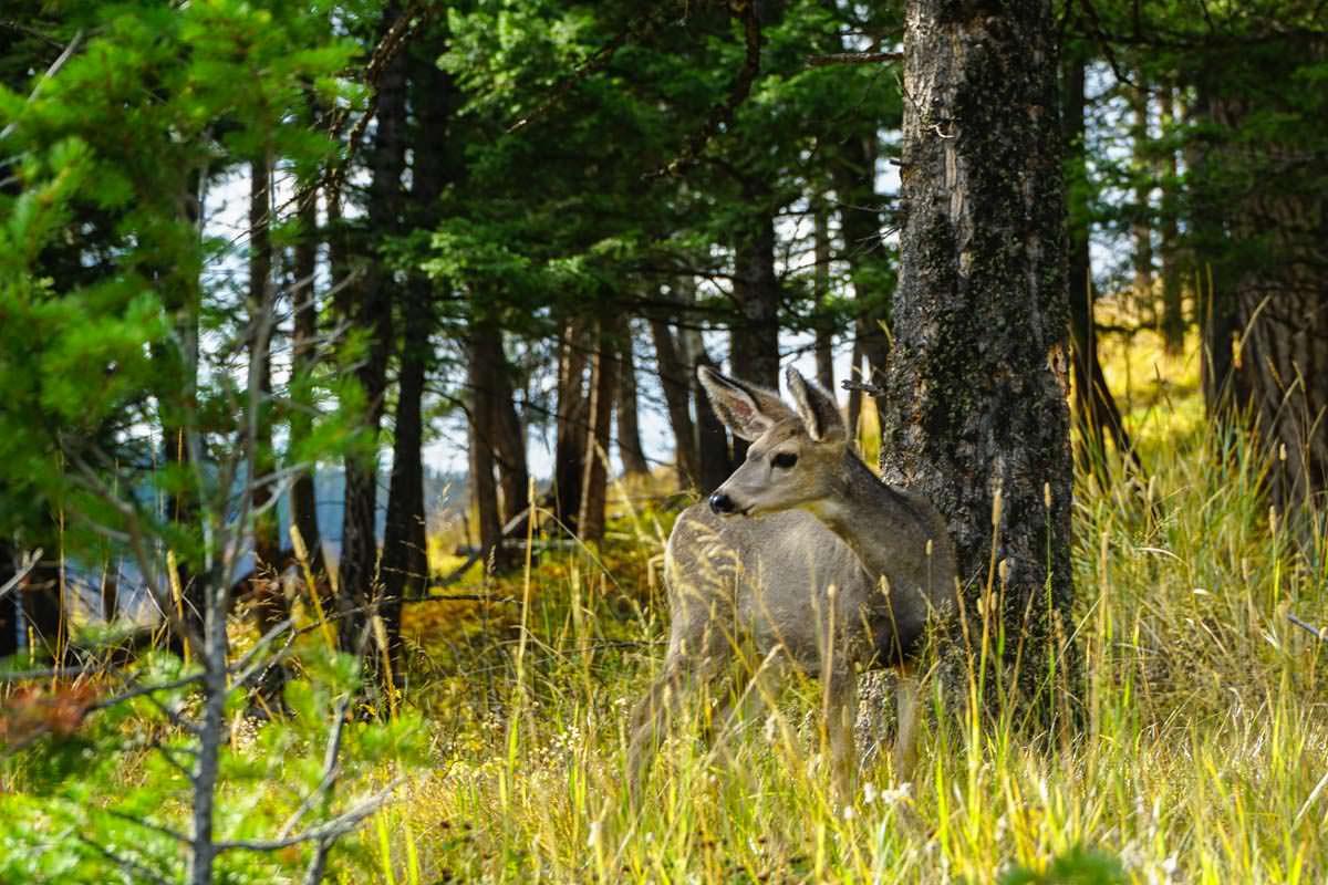 Reh im Yellowstone NP