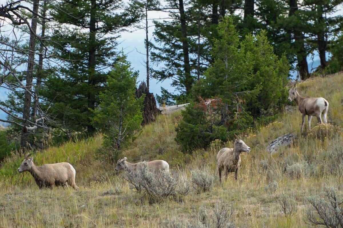 Ziegen im Yellowstone NP