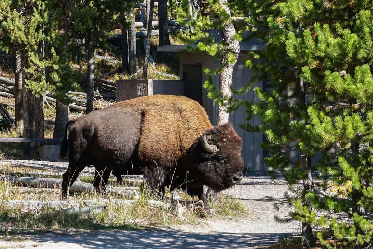 Bison vor dem Klo (Yellowstone)