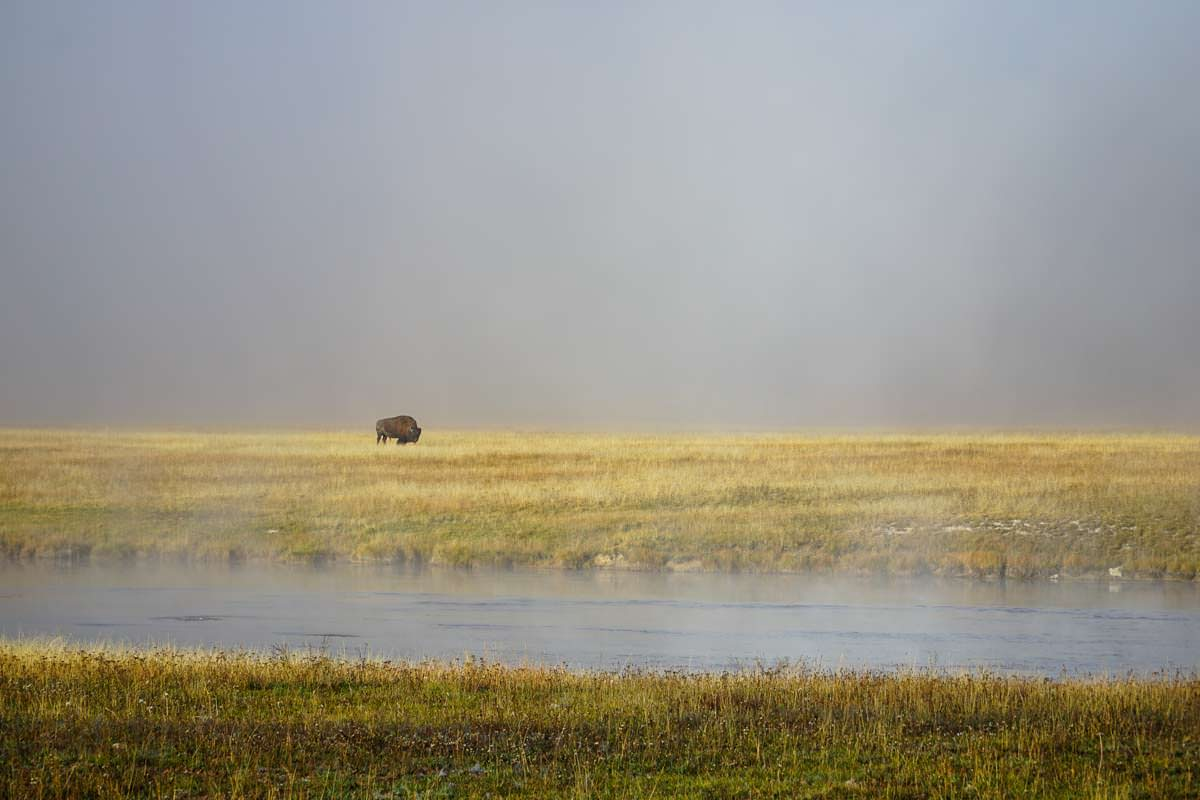 Bison im Yellowstone NP