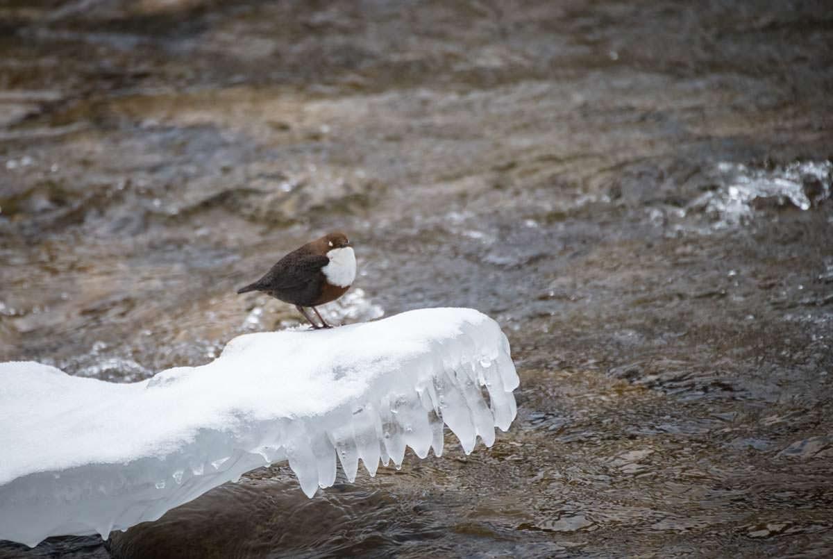 Wasseramsel im Eistobel