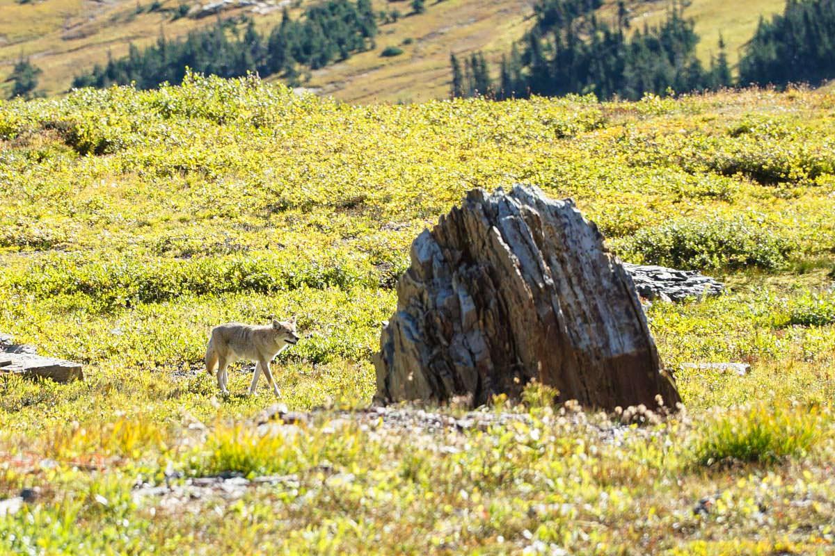 In unserem Beitrag findest du Tipps über die Wildtiere im Glacier Nationalpark (hier: Kojote)