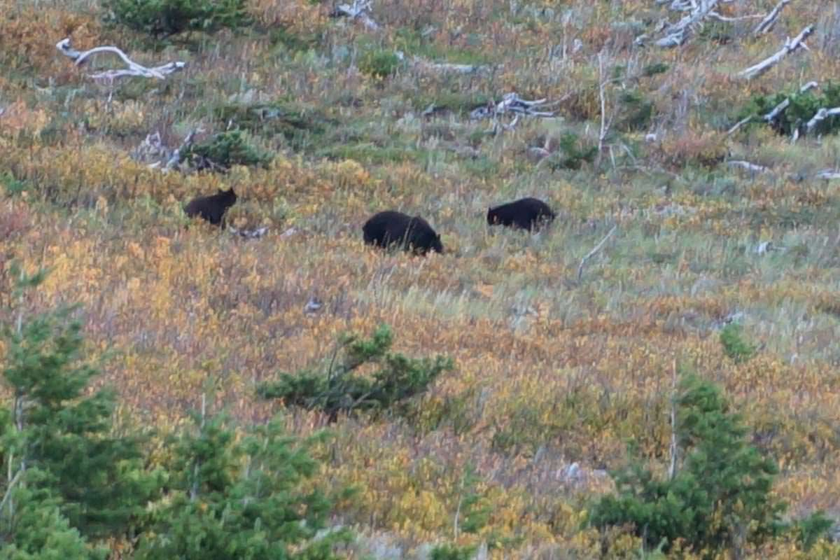 Bärenfamilie im Glacier Nationalpark