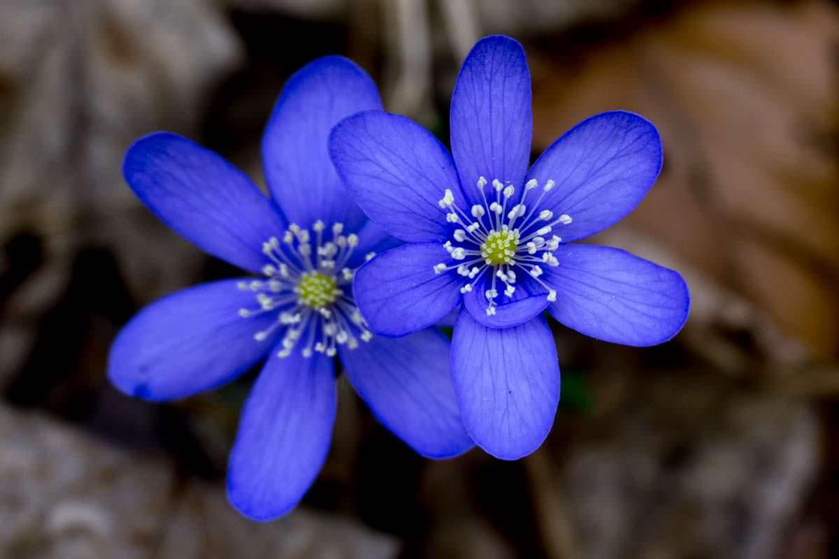 Blaues Buschwindröschen / Anemone im Allgäu