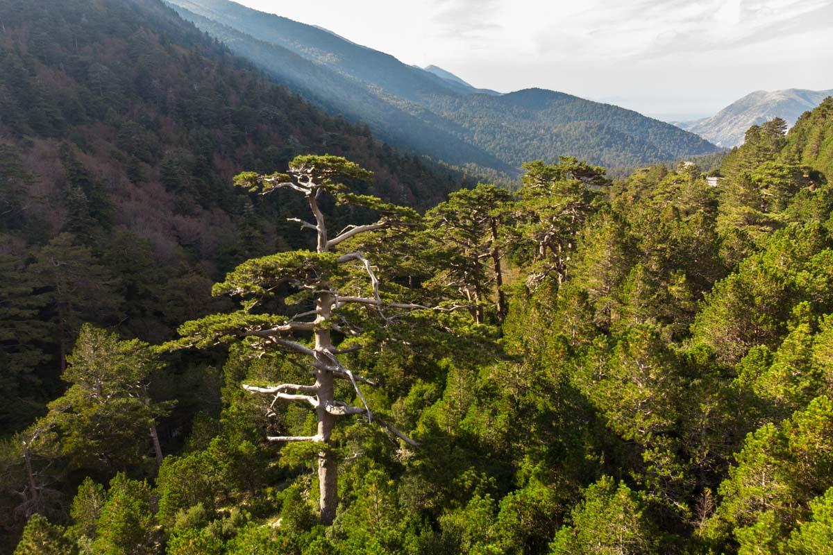 Kiefer am Llogara Pass (Albanien)