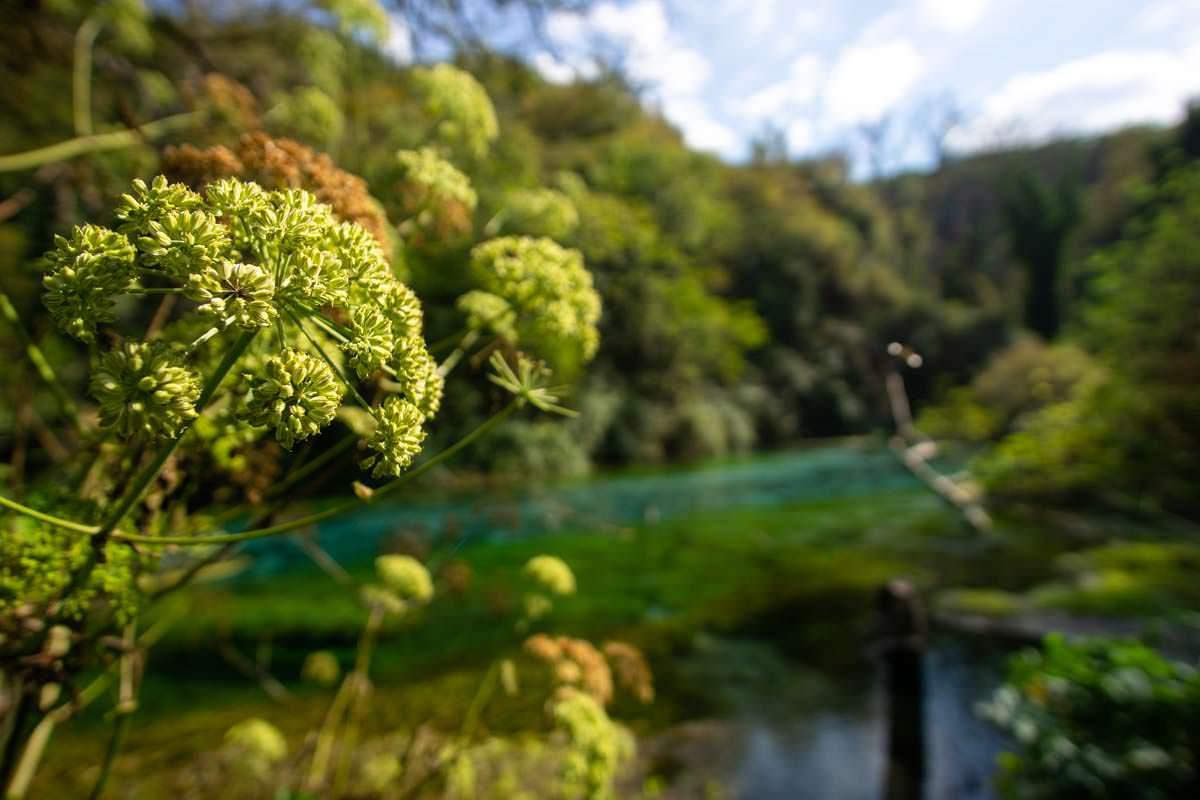 Pflanzen am Syri i Kaltër (Albanien)