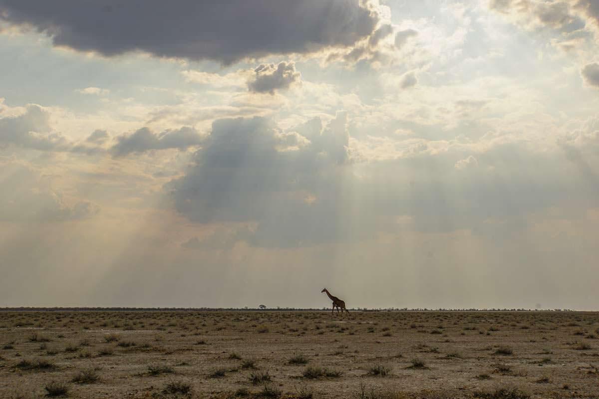 Giraffe in der Etosha Pfanne
