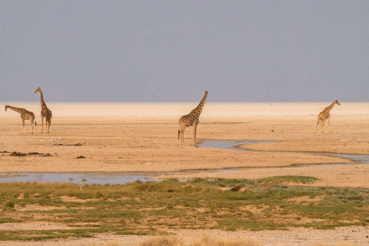 Giraffen am Okondeka Wasserloch im Etosha NP