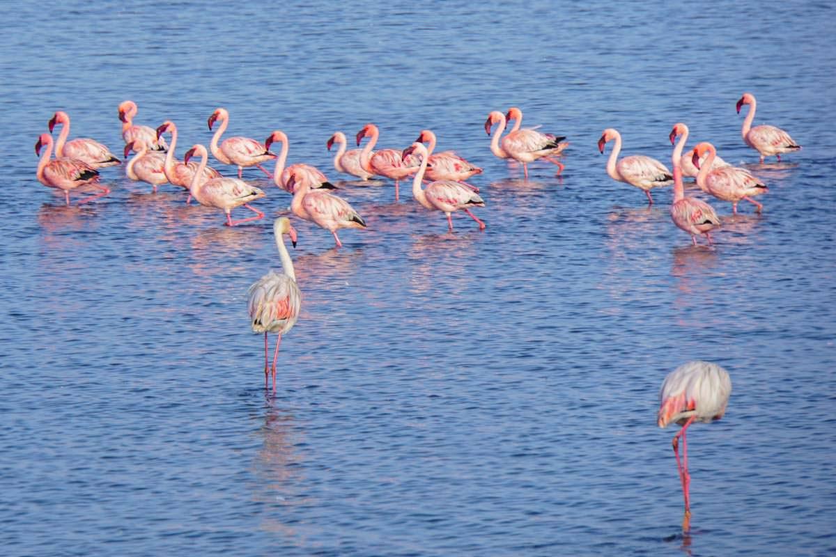 Flamingos bei Walvis Bay