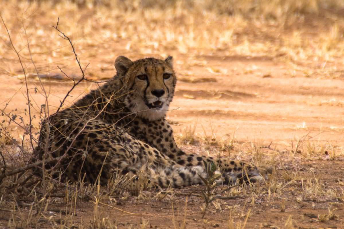 Gepard im Cheetah Conservation Fund (CCF, Namibia)
