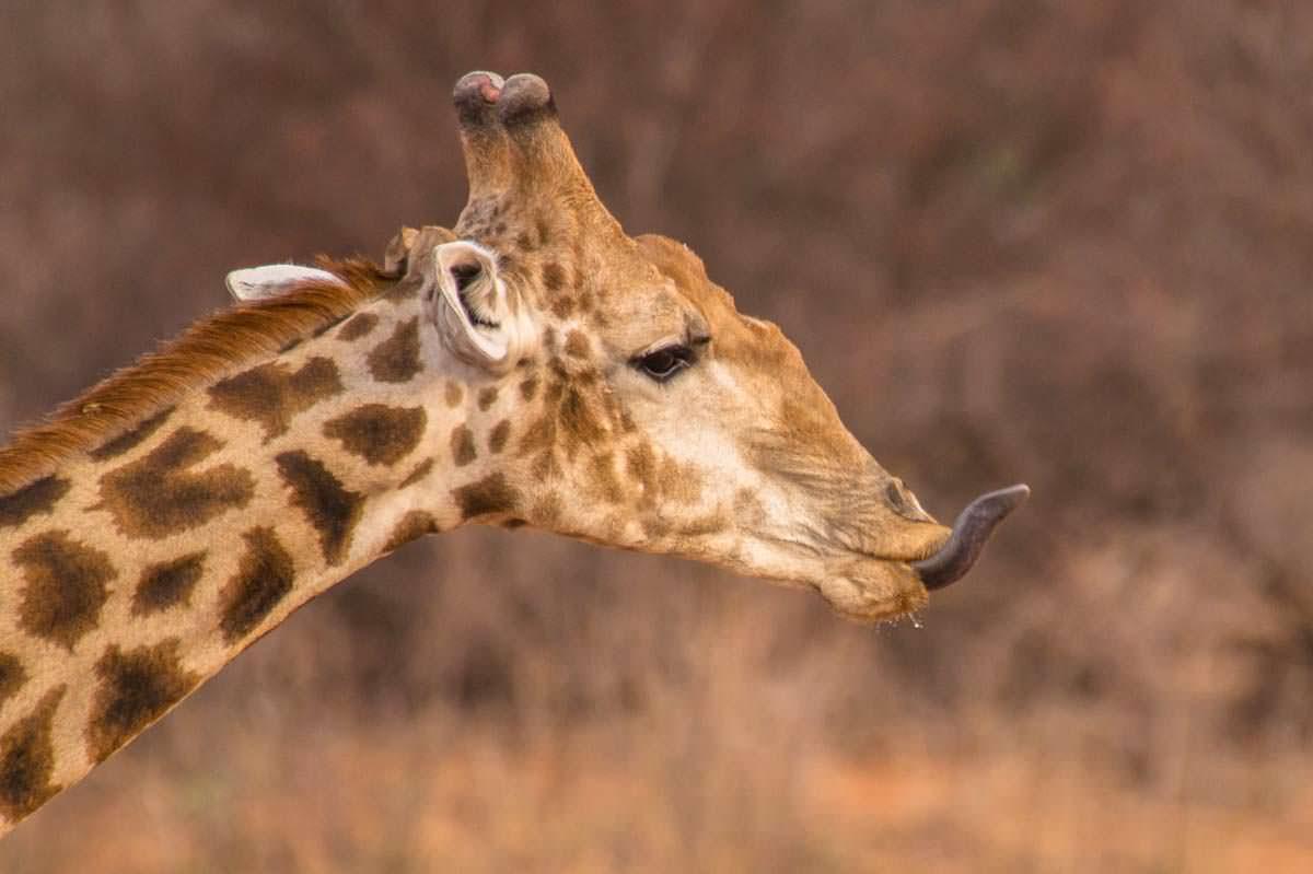 Giraffe am Waterberg Plateau NP