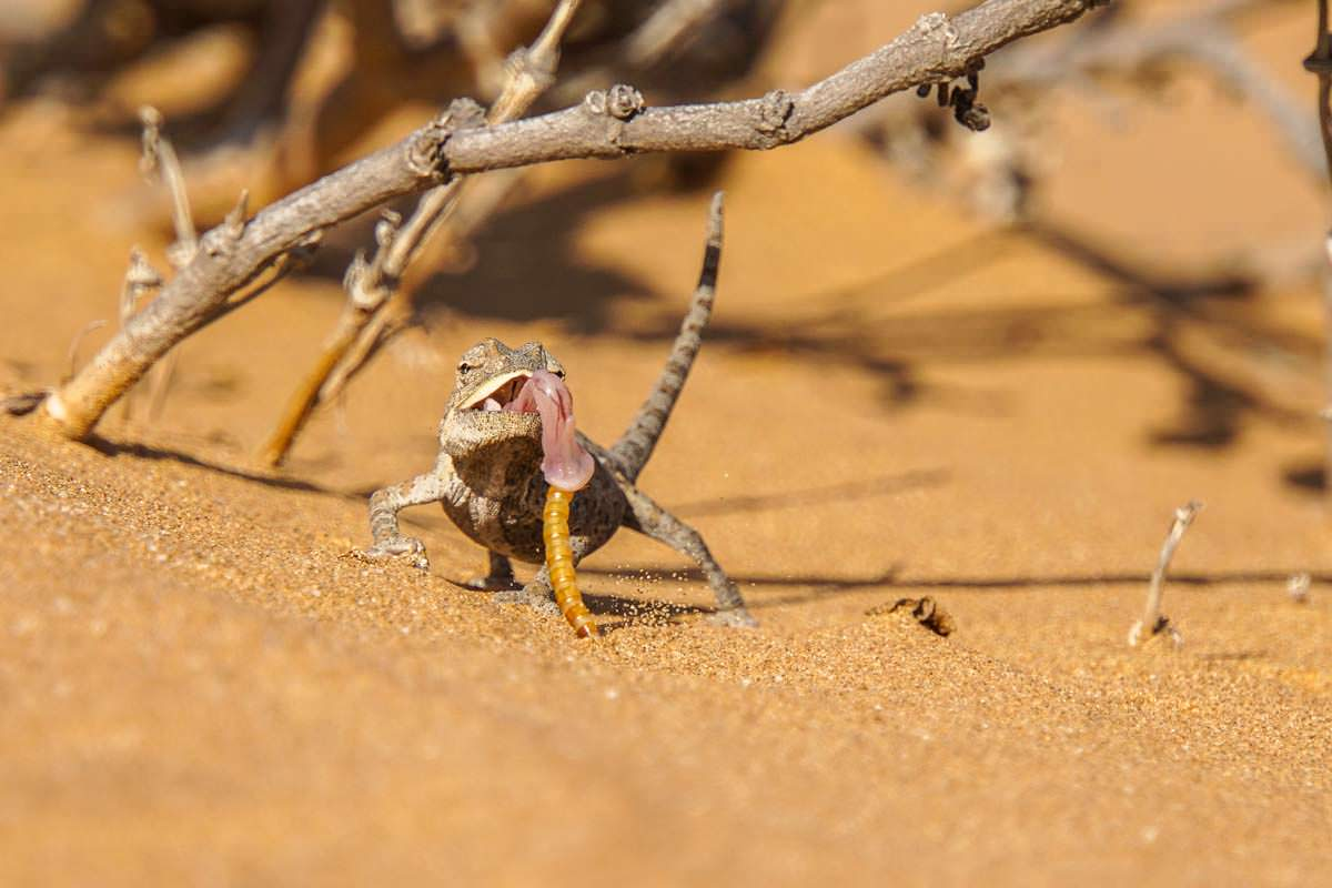 Namaqua Chamäleon beim Jagen (Namibia)