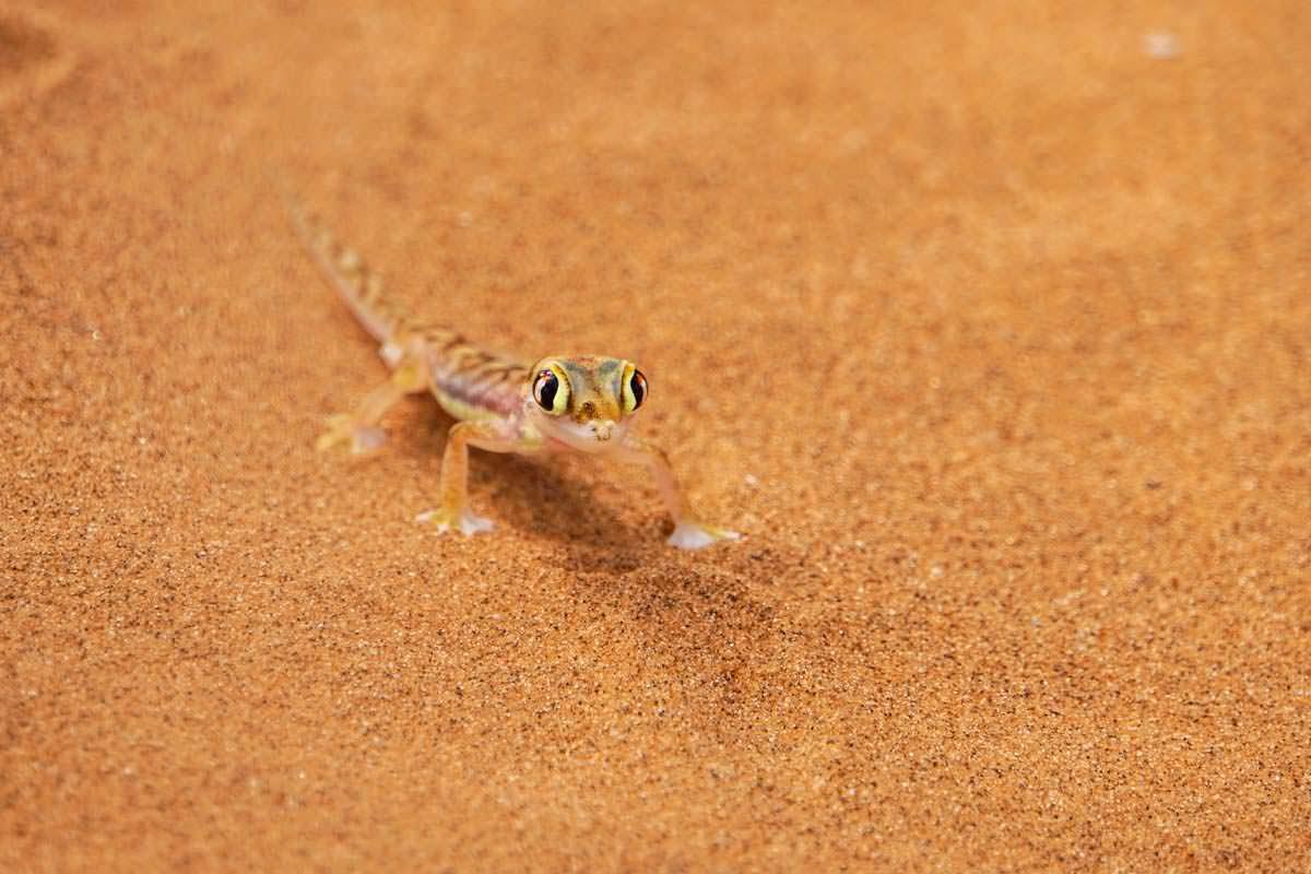 Namibgecko (Dorob NP, Namibia)
