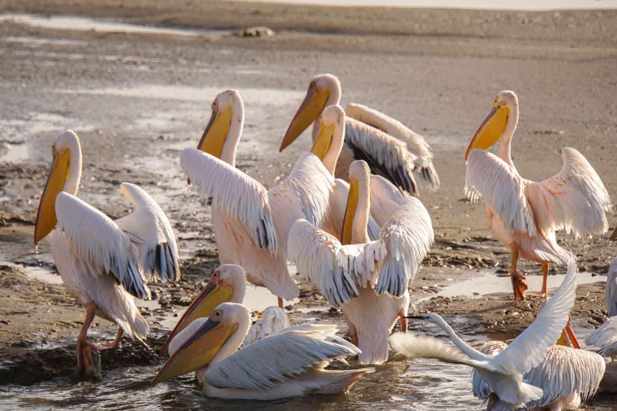 Pelikane bei Walvis Bay