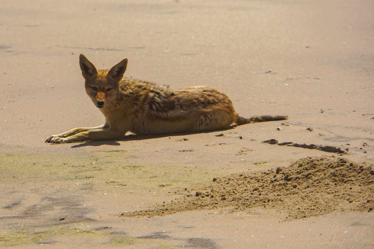 Schakal am Strand (Walvis Bay, Namibia)