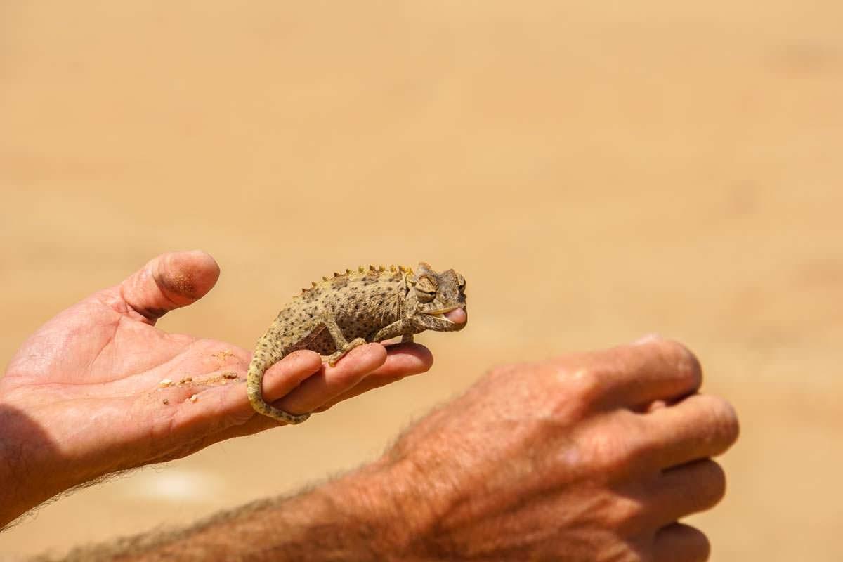 Wüstenchamäleon (Living Desert Tour, Namibia)