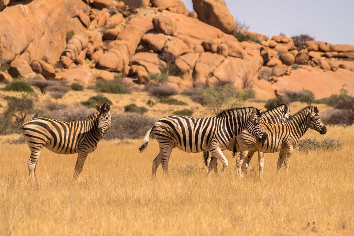 Zebras (Spitzkoppe, Namibia)