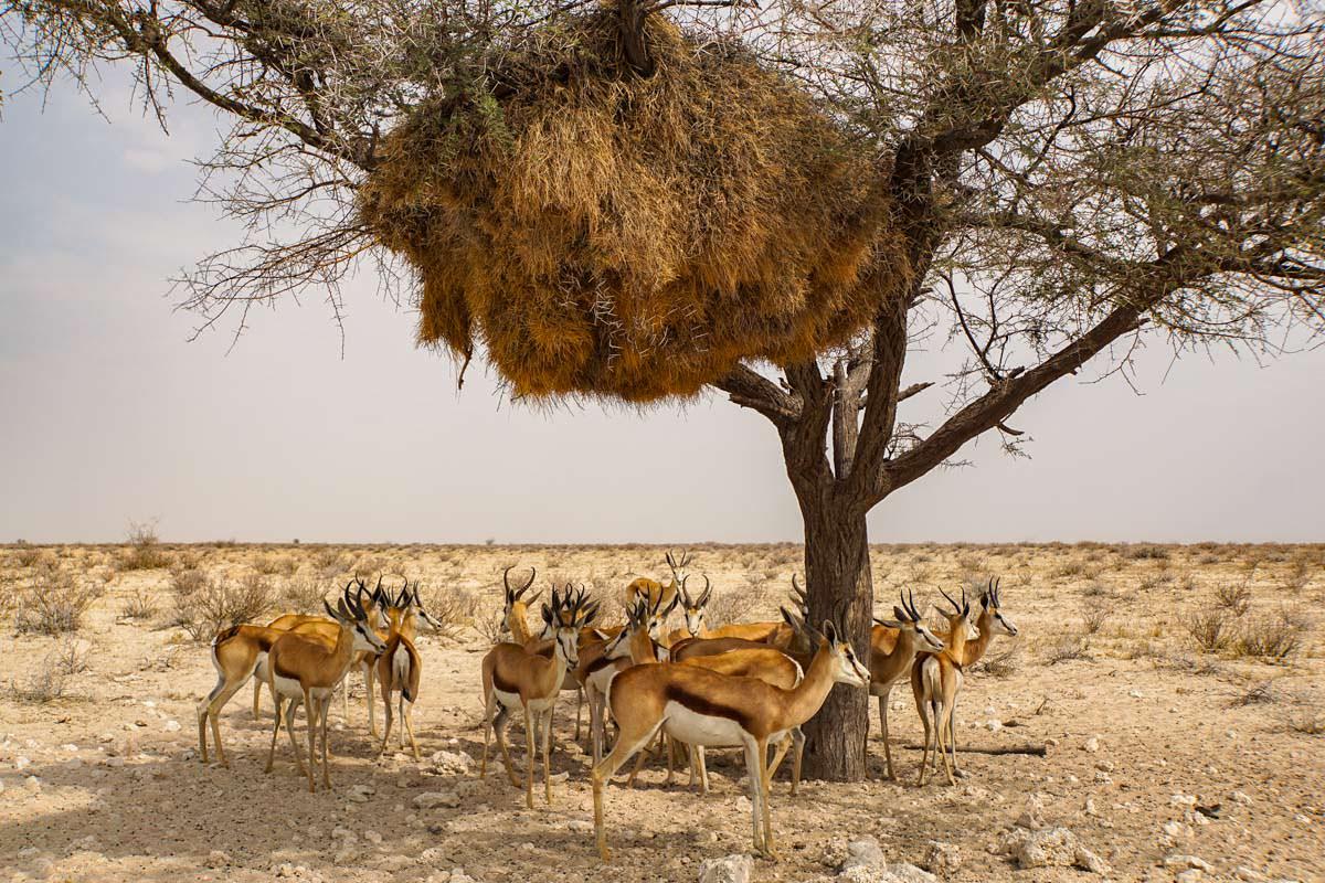 Springbock Antilopen suchen Schutz vor der Sonne im Etosha NP