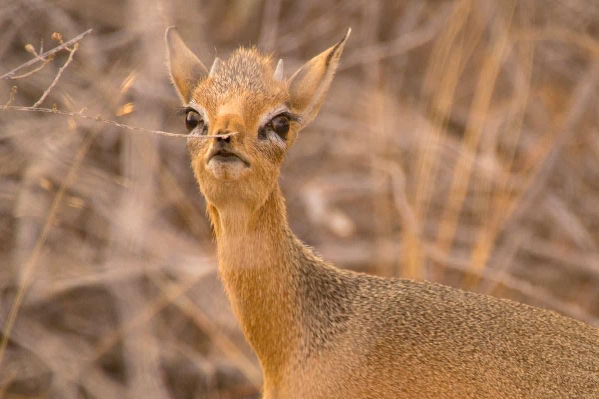 Dikdik Antilope im Etosha NP