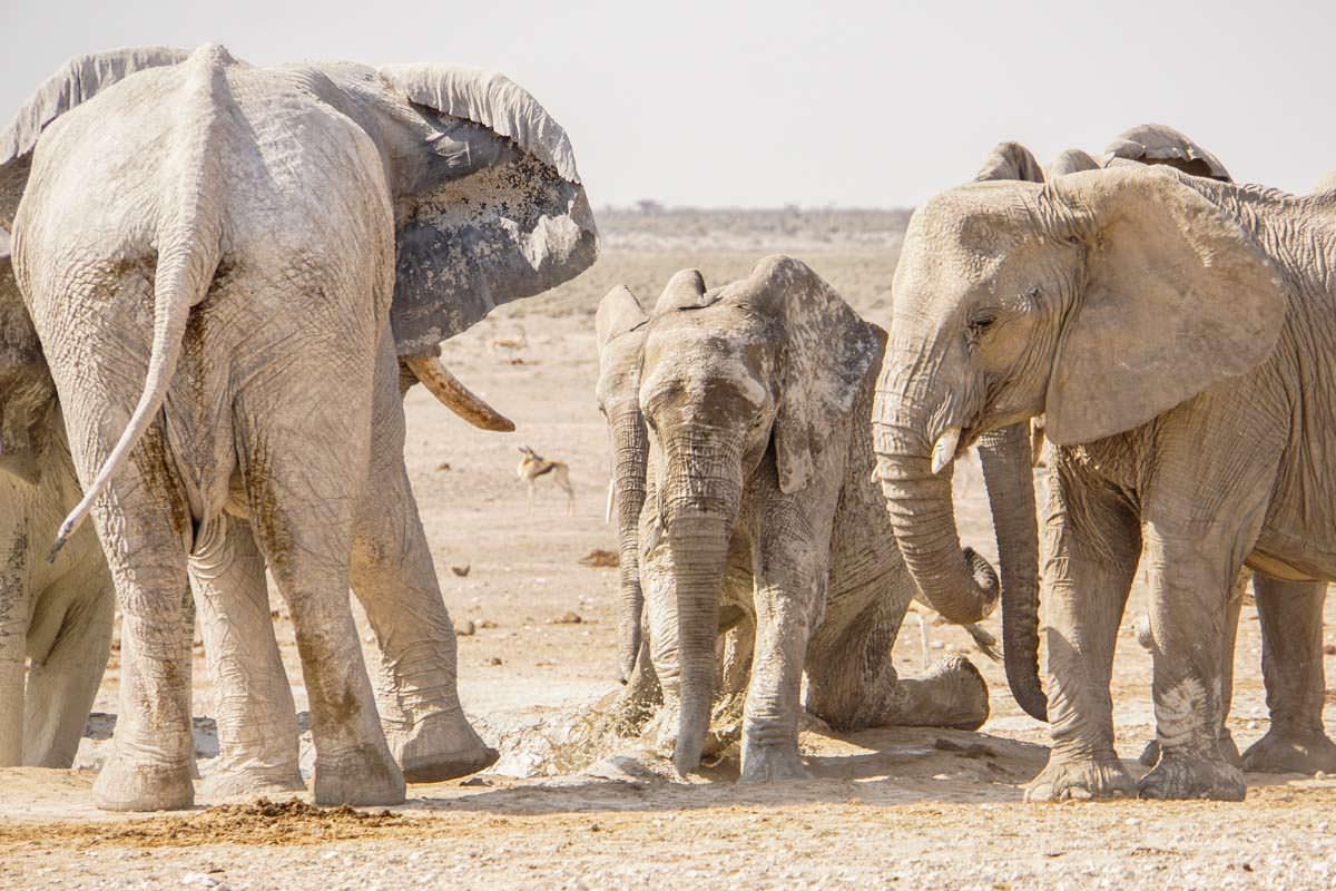 Elefant stürzt am Wasserloch im Etosha NP
