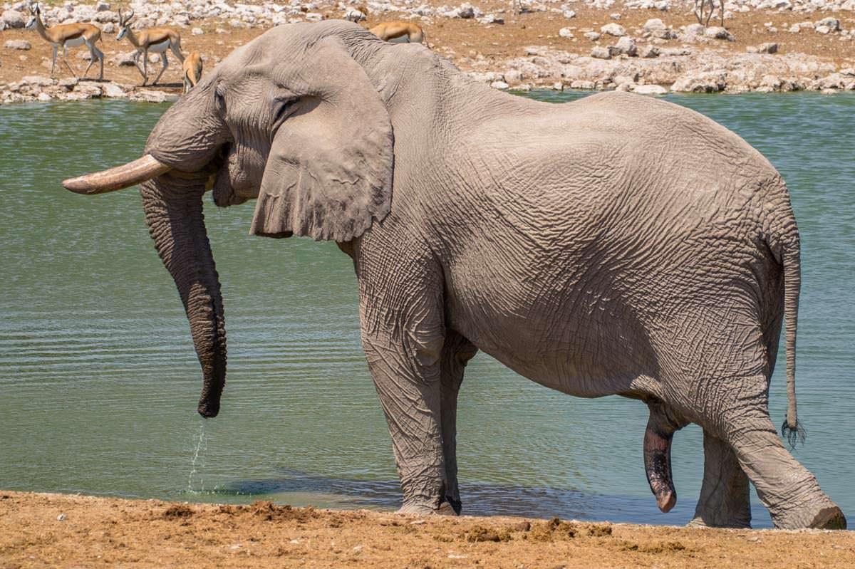 Penis vom Elefanten (Etosha NP)