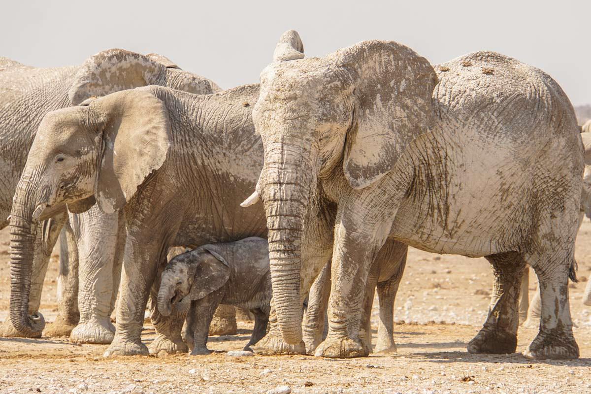 Elefantenherde im Etosha NP