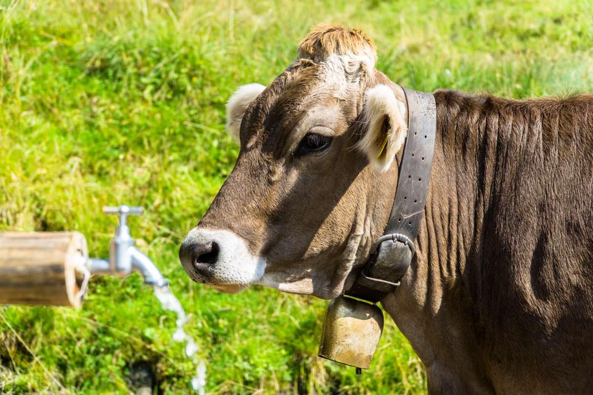 Kuh auf der Unteren Richteralpe im Allgäu