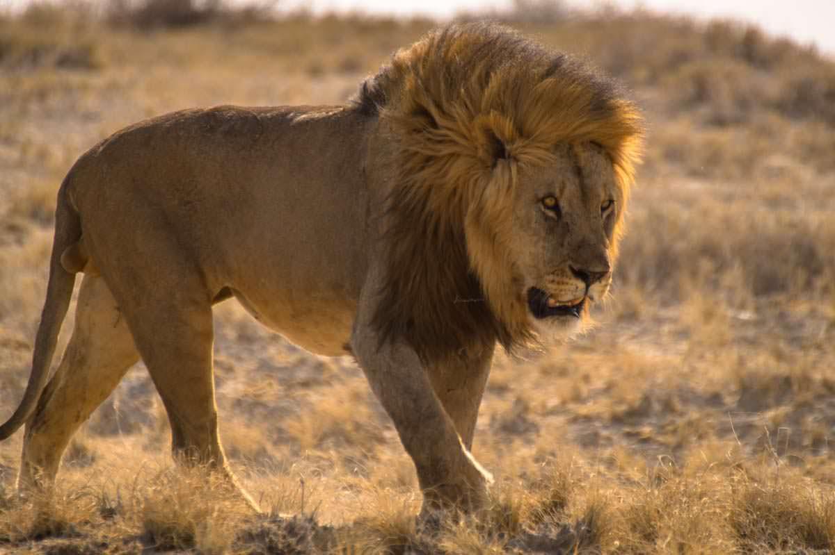 Löwe im Etosha NP